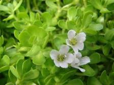 Brahmi plant and flower